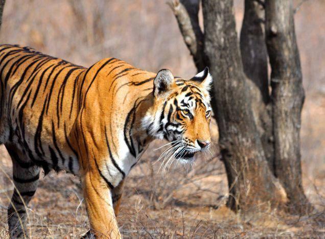 Tigre_du_bengale